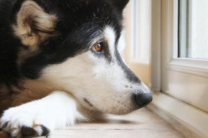 imagedogshusky-looking-out-window-rainblog