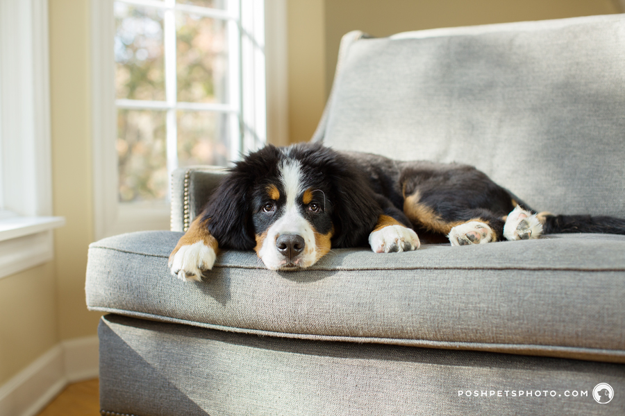 Toronto-Bernese-Mountain-Dog-Puppy-Photographer